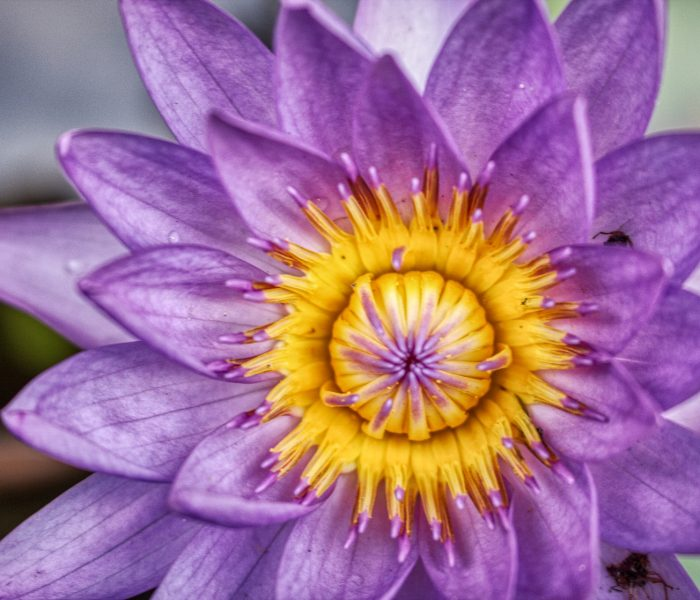 water-lily-4450530_1920